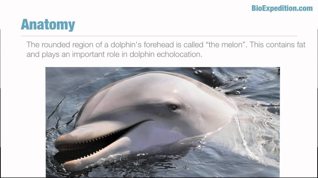 Bottlenose Dolphin Facts - YouTube