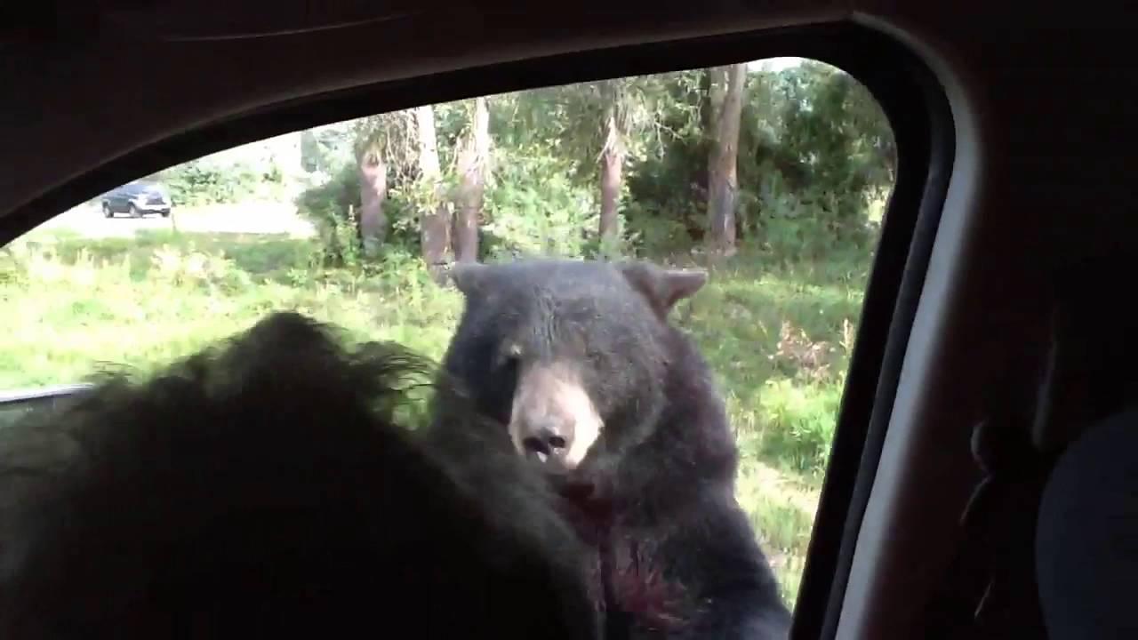 & Kids scream as Bear opens van door - YouTube