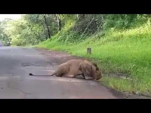 Loin king wild Tiger drinking water Babbar Sher