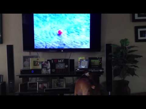 Miley and Bunker (boxer dogs) watch DogTV Stimulation