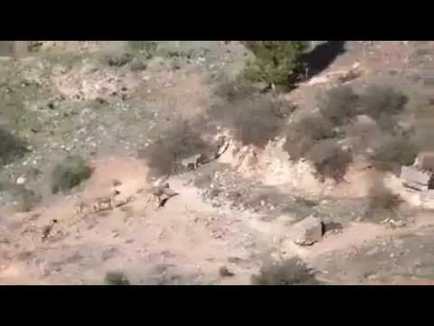 livestock guardian dogs chase a wolf
