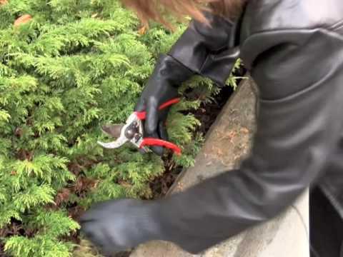 prunethis how to prune shrubs like juniper and arborvitae, Natural flower