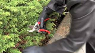 Prunethis: How to prune shrubs like Juniper and Arborvitae