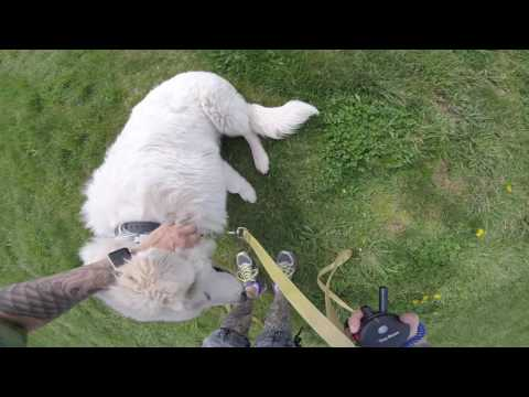 Bailer, A Maremma Sheepdog is learning a little off leash control. ;)