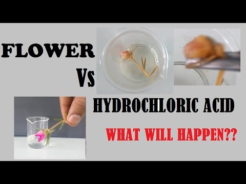 Hydrochloric acid and Flower ( What will happen )