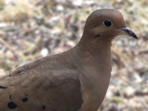 Mourning Dove - HD Mini-Documentary