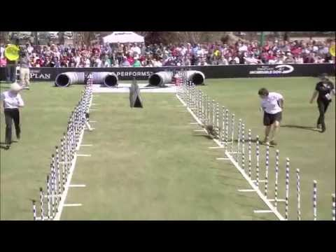 30 Weave Pole Finals - 2014 Purina® Pro Plan® Incredible Dog Challenge Eastern Regionals