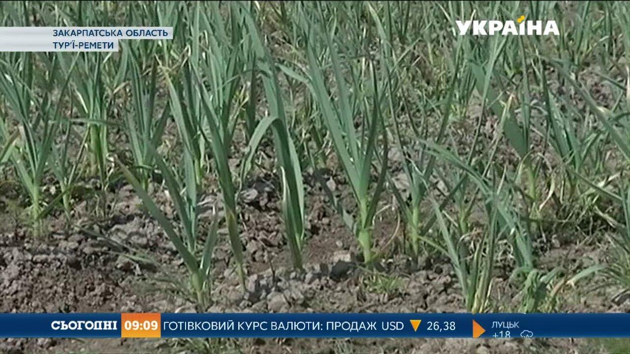 расчет бизнеса по выращиванию чеснока загородных участках