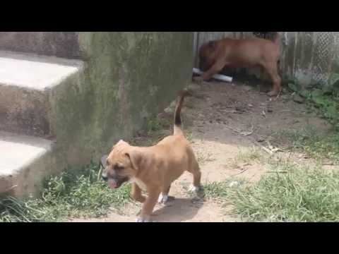 Pit Bull Puppies For Sale