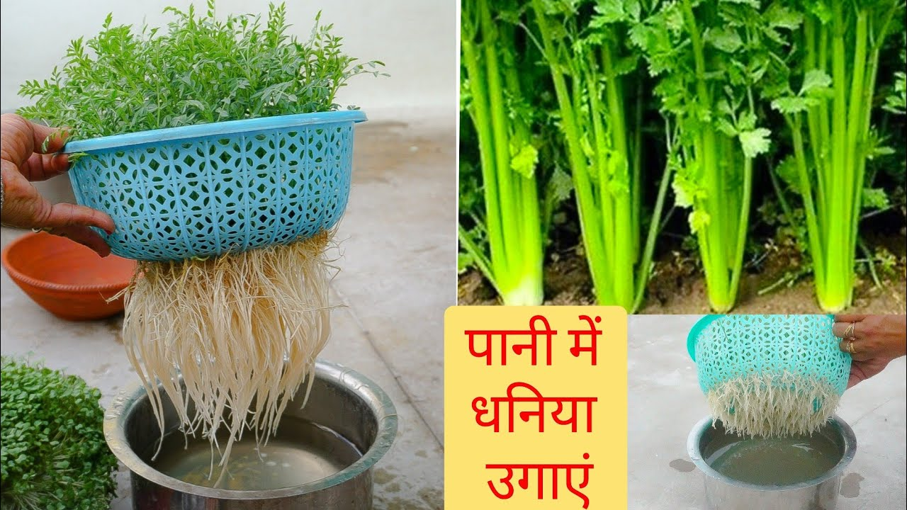 बिना मिट्टी के धनिया उगाएं | How to grow Coriander at home without Soil | Grow Dhaniya in Pot