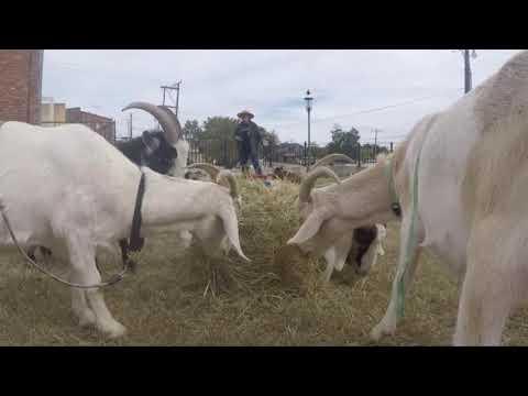 Steve Knoll - Try Some Goat Yoga in Van Buren