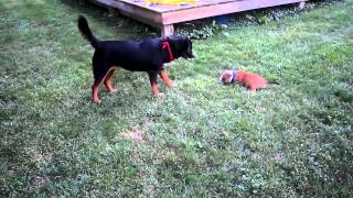 English Bull Terrier Puppy And Lab Mix Playing