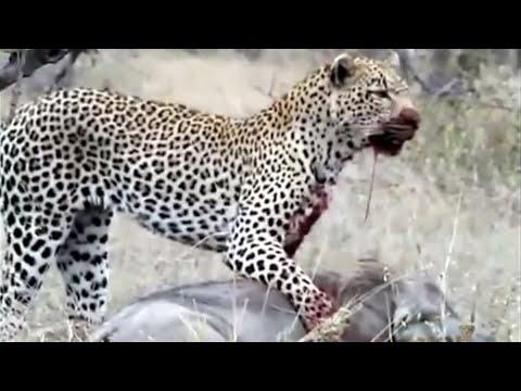 Leopard kills Warthog Amazing  World of Animals