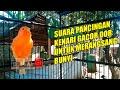 Suara Pancingan Kenari Jernih Banget Master Burung Kenari Gacor Nyaring Untuk Merangsang Agar Bunyi Audio(.mp3 .mp4) Mp3 - Mp4 Download