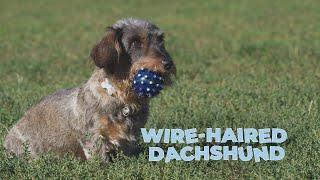 WireHaired Dachshund Dog Breed Information 101