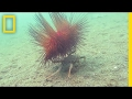 Watch: Carrier Crab Uses Spiny Urchin As Shield | National Geographic