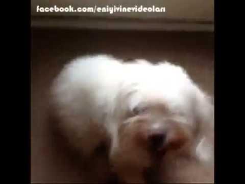 Fazla Atarlı Köpek Vine