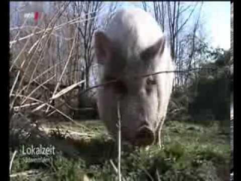 Download Lokalzeit Südwestfalen Ein Schwein als Haustier