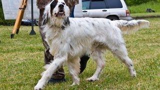 Межрегиональная 116-я Московская выставка собак охотничьих пород средний ринг кобелей