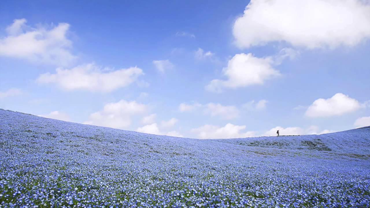 mesmerizing fields of blue flowers youtube