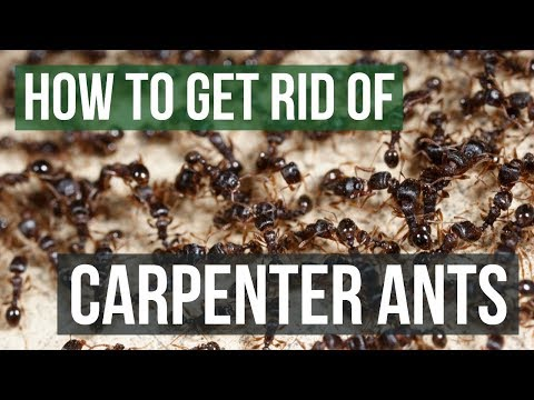 How to get rid of ants naturally on carpet