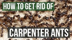 How to Get Rid of Carpenter Ants (4 Simple Steps)