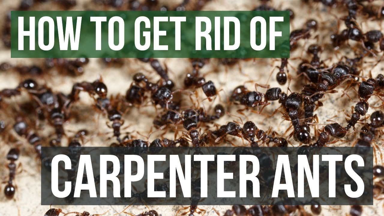 How To Get Rid Of Carpenter Ants 4 Simple Steps Youtube