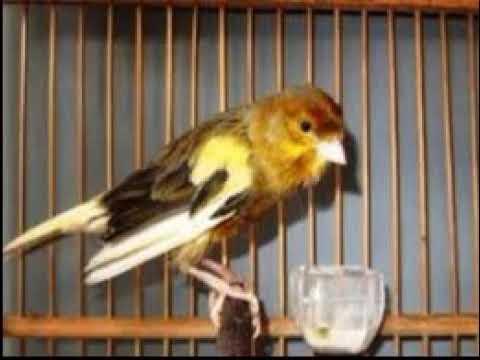 Download Lagu Burung kenari ngeriwik, kenari muda menari nari sambil mengoceh