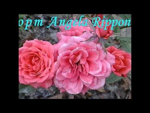 Обзор сортов роз. Самые популярные сорта роз