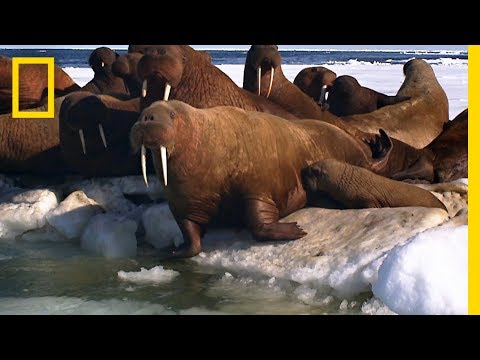 A Walrus Pup's Swimming Lesson   Animal 24