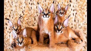 Caracal kittens / Котята породы каракал