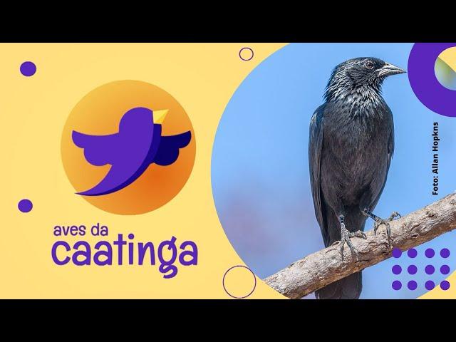 AVES DA CAATINGA #06 - Assum-Preto