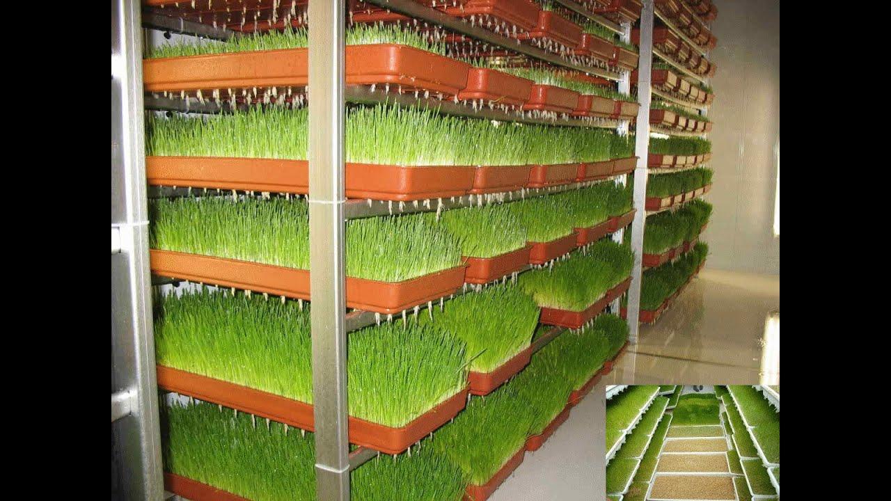 استنبات الشعير بتقنية الغرف المحكمة لتغذية المواشى و الدواجن و
