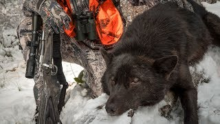 SHADE of BLACK - Wolf Hunting Montana