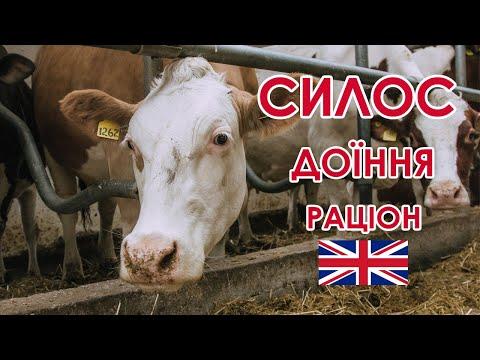 Молочний бізнес по-британськи: складання раціону, заготівля силосу та доїння/ Куркуль