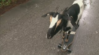 Skateboarding goat: Happie enters Guinness Book of World Records 2013