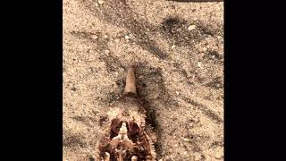 Regal horned lizard feeding on mealworms