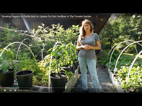 Growing Peppers In Perlite And An Update On Fish Fertilizer In The Tomato Garden