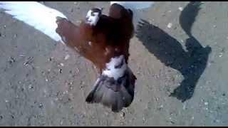 bekdemir köyü takla atan güvercin