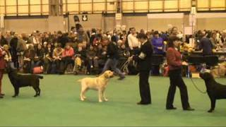 Crufts 2009 Labrador Dog Judging