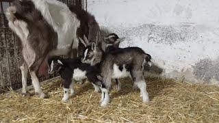 Nareszcie pierwsze małe kozy na gospodarstwie 🐐😄.