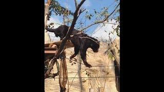 พี่เสือดำกินไก่สุดฮาสวนสัตว์โคราช Feeding the Panther at the Korat zoo