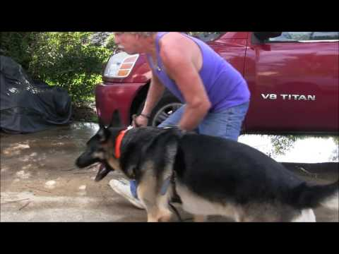 German Shepherd  (140 lbs ) bites trainer making him cry in agony!