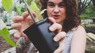 how-to-plant-tomatoes-the-best-way-gardening-advice-and-tips-roots-and-refuge-farm