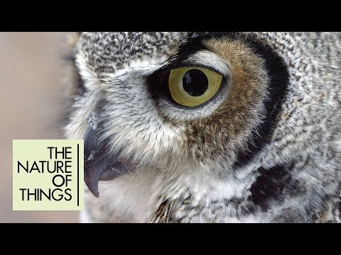 Meet Robbie the great horned owl — a masterful flier and supreme hunter | The Nature of Things