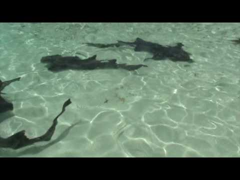Sharks at Ship Channel Cay