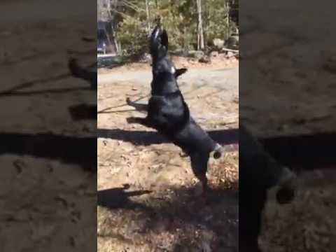 crazy pet cattle dog hula hooping and having fun