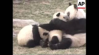 CHINA: BABY PANDAS DRAWING CROWDS AT BEIJING ZOO