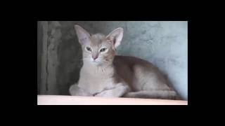 Абиссинский котенок, питомник абиссинских кошек Amberberry, http://amberberry.ru
