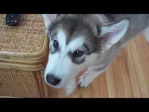 Alaskan Malamute Puppy Getting Lesson on How To Howl